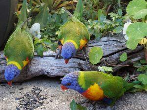 Haushüten Australien